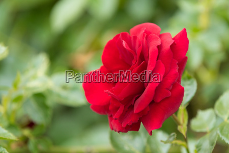 beautiful red roses in spring garden