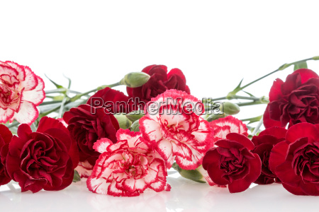 bunch of carnations over white background