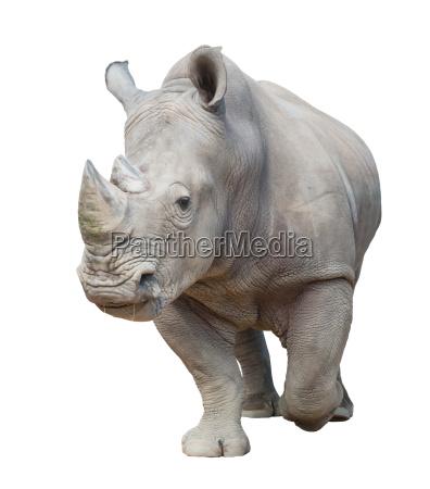 white rhinoceros isolated