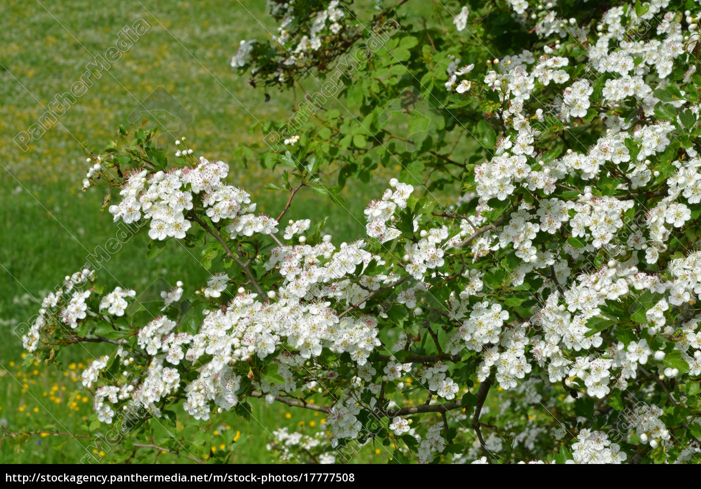 Hawthorn Flower Meaning In Kannada | Best Flower Site
