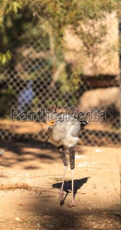 secretary bird sagittarius serpentarius is endemic