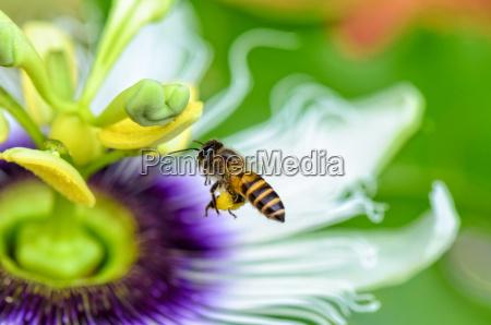 bee flying over flowers