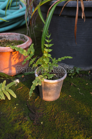 small fern in garden pot
