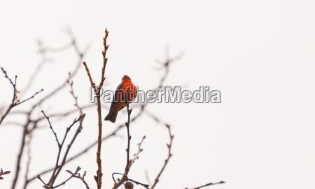 a male vermilion flycatcher bird pyrocephalus