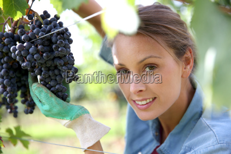 beautiful woman in vineyard picking grape