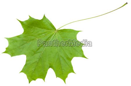 back side leaf of maple tree