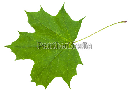 leaf of maple tree acer platanoides