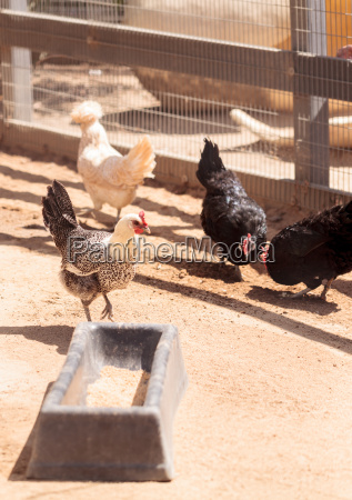 chickens outside a chicken coop