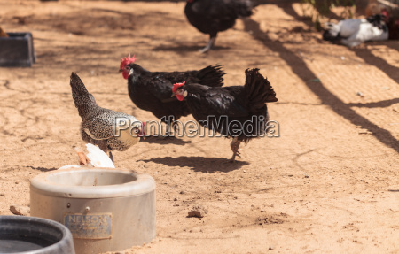 chickens outside a chicken coop in