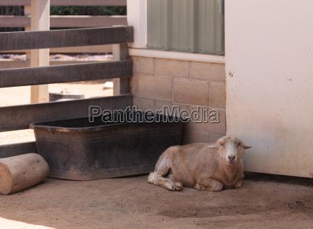 rare hog island sheep used to