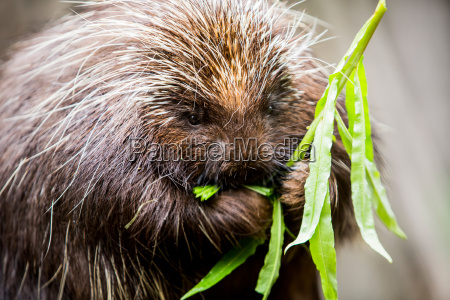 porcupine munching on plants