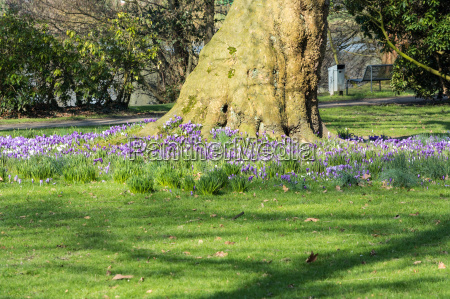 crocuses with tree on a meadow