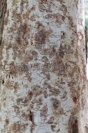 bark beetle pattern of eucalyptus tree