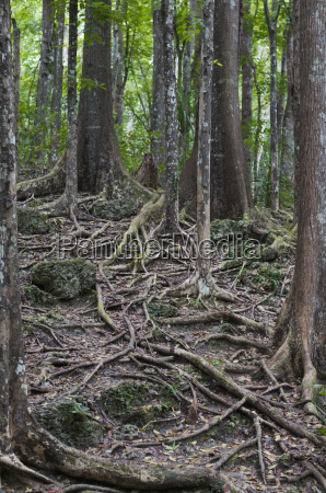 mahogany forest meliaceae