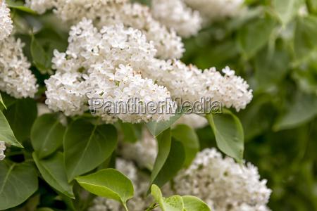 syringa vulgaris close up
