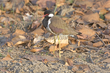 red wattled lapwing in the wilds