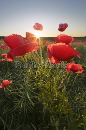 poppys field in the sunny morning