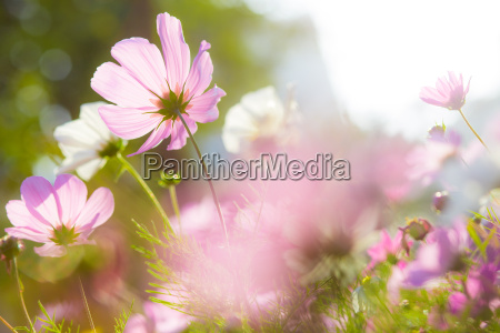 cosmos flowers in blooming with sunset