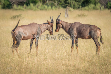 two tsessebe head to head on