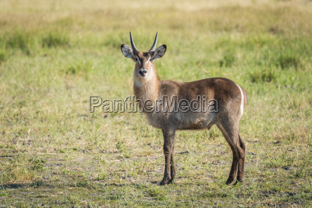 young waterbuck standing in meadow facing