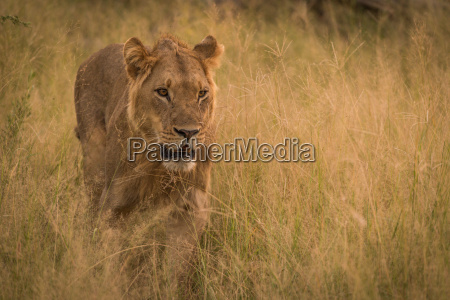 male lion stalking prey in long