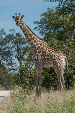 south african giraffe among trees facing