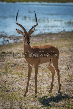 male impala on grassy riverbank facing