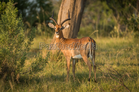 male impala in golden light facing