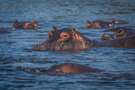 hippopotamus with others in river facing