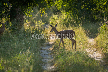 female impala crossing track in dappled