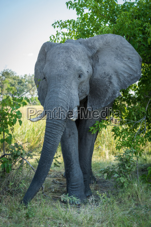 elephant enters gap in bushes facing