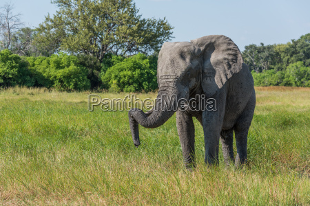 elephant standing with trunk hooked on