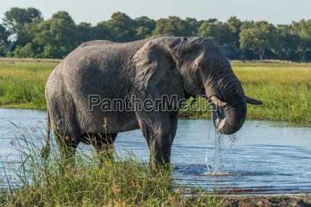niebieski ssak afryka slon kly zwierzeta