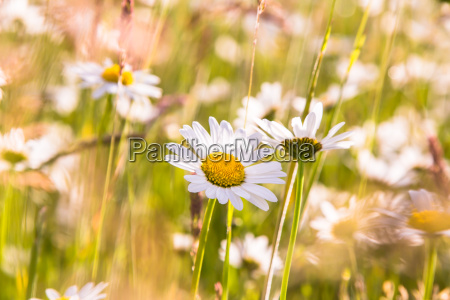 daisies and wildflowers meadow bright blooming