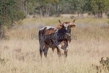australian milking zebu