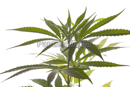 cannabis marihuana plant with green leaves