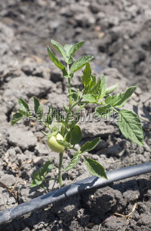 young tomato plant growing with drip