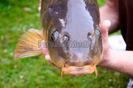carp fish head closeup