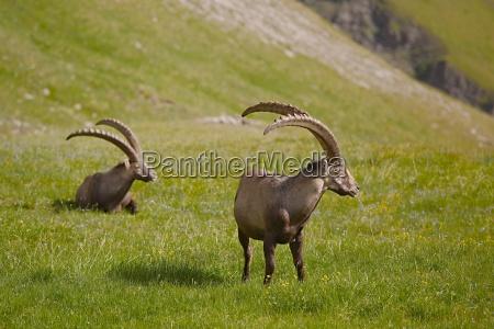 alpine ibex grazing
