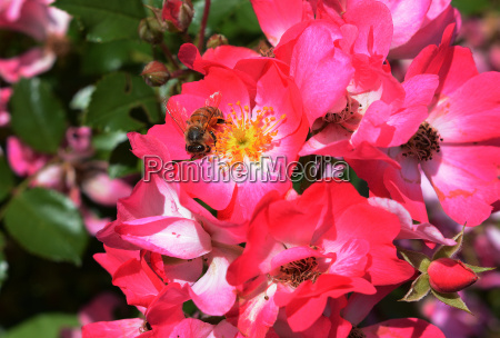insects in the pollination of flowers
