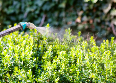 processing of boxtree bushes by insecticide