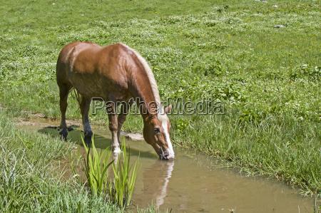 haflinger horse in bach