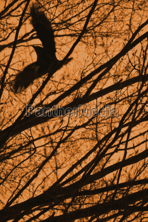 flying crow with branches and orange