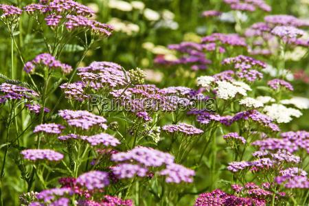 common yarrow achillea millefolium pink and