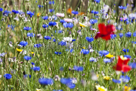 flower meadow poppy papaver rhoeas and