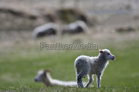 iceland lamb standing on a meadow
