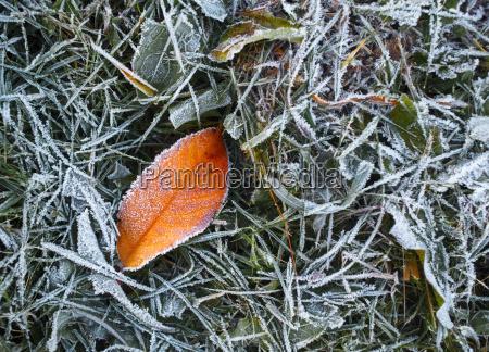 hoarfrost and fallen leaf