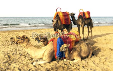 several camels resting on a beach