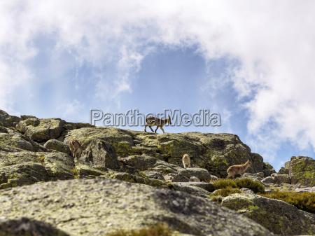 spain sierra de gredos ibex in