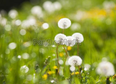 dandelions in summer meadow